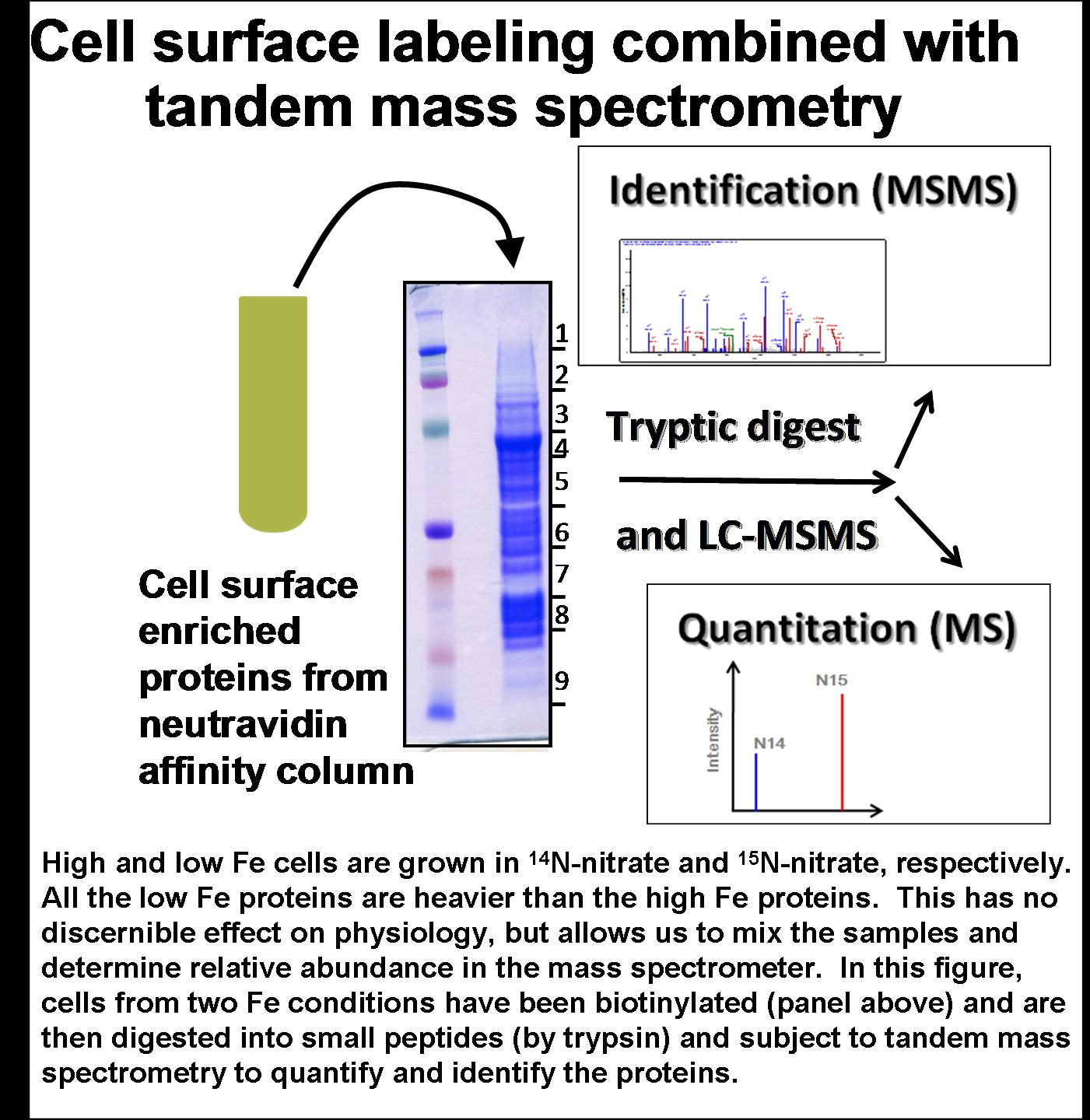 cell surface labeling